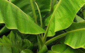 manfaat daun pisang